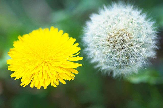 菊とたんぽぽ