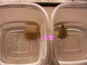 スッポン孵化直後と1週間比較