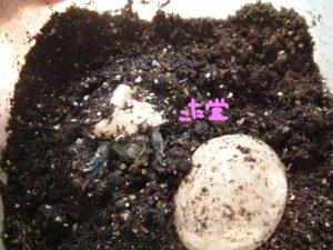 イシガメ孵化