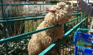 花と動物ふれあい広場羊