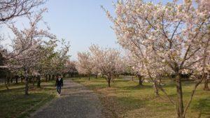 高須公園サクラ