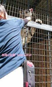 大内山動物園トラ