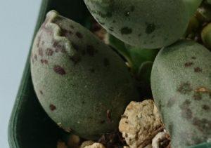 アドロミクサスクーペリ青い卵