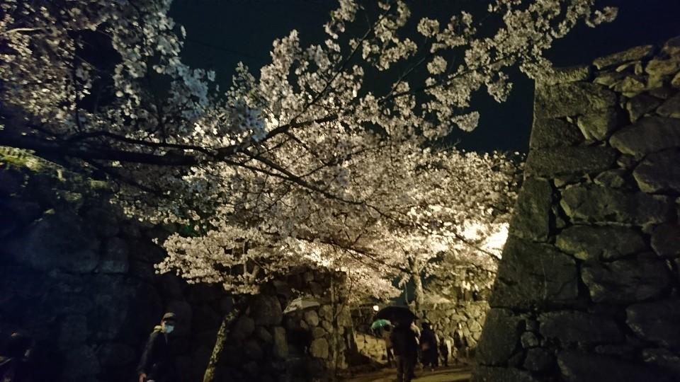 松阪公園桜2021ライトアップ