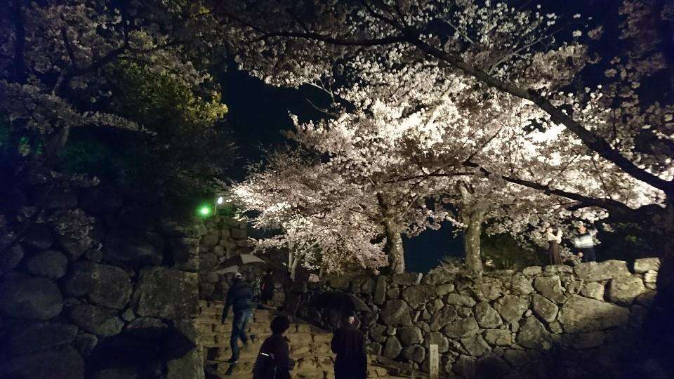 松阪公園桜ライトアップ