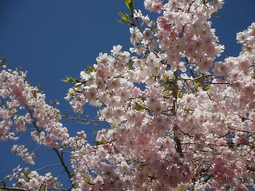 熊野鬼ヶ城桜の道