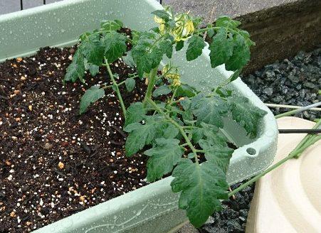 トマト挿し芽